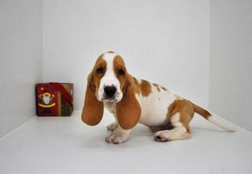 Basset Hound Puppies for Sale