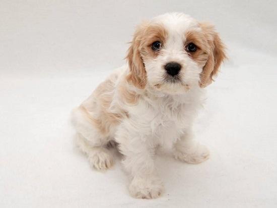 Cavachon Puppy Owner