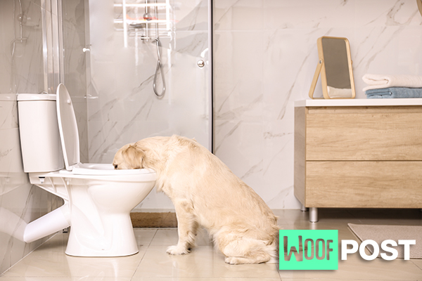 WoofPost.Com Drinking from the toilet