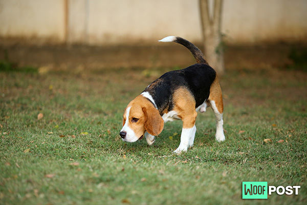 WoofPost.Com - Why Does Your Dog Eat Poop?