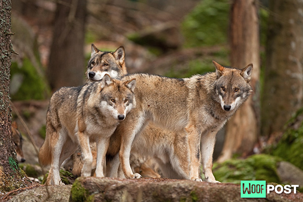 WoofPost.Com - Protect Your Dogs From Coyotes