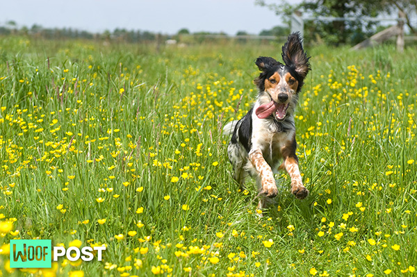 WoofPost.Com - Why Does Your Dog Get The Zoomies?