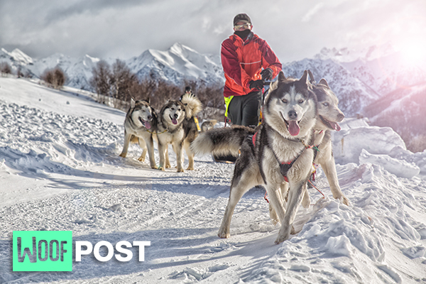 WoofPost.Com - Modern Sled Dogs Older Than We Thought