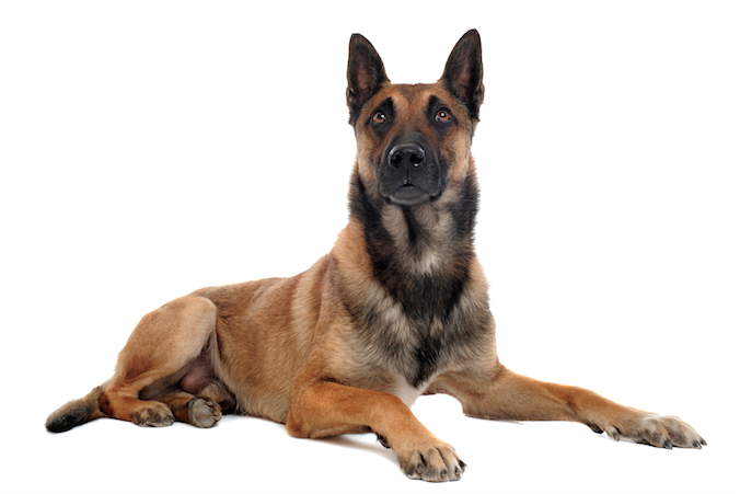 WoofPost.Com - A BELGIAN MALINOIS NAMED ROUX DEMONSTRATES THIS BREED'S PROTECTIVE NATURE