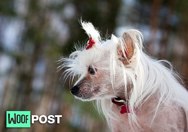 WoofPost.Com - IS THERE REALLY A DOG THAT IS HYPOALLERGENIC? FIVE DOG BREEDS TO CONSIDER