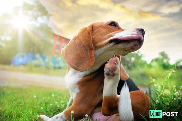 WoofPost.Com - WHAT TO DO ABOUT YOUR DOG'S ALLERGIES – PART ONE